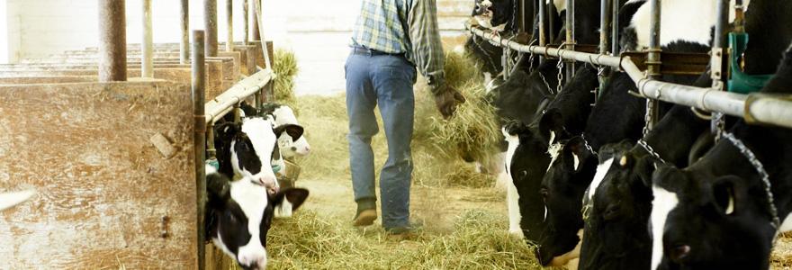 élevage de bétail